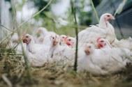 Grippe aviaire : le confinement obligatoire des volailles et oiseaux captifs est levé